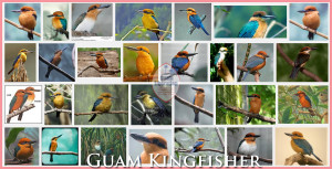 Guam-KingFisher